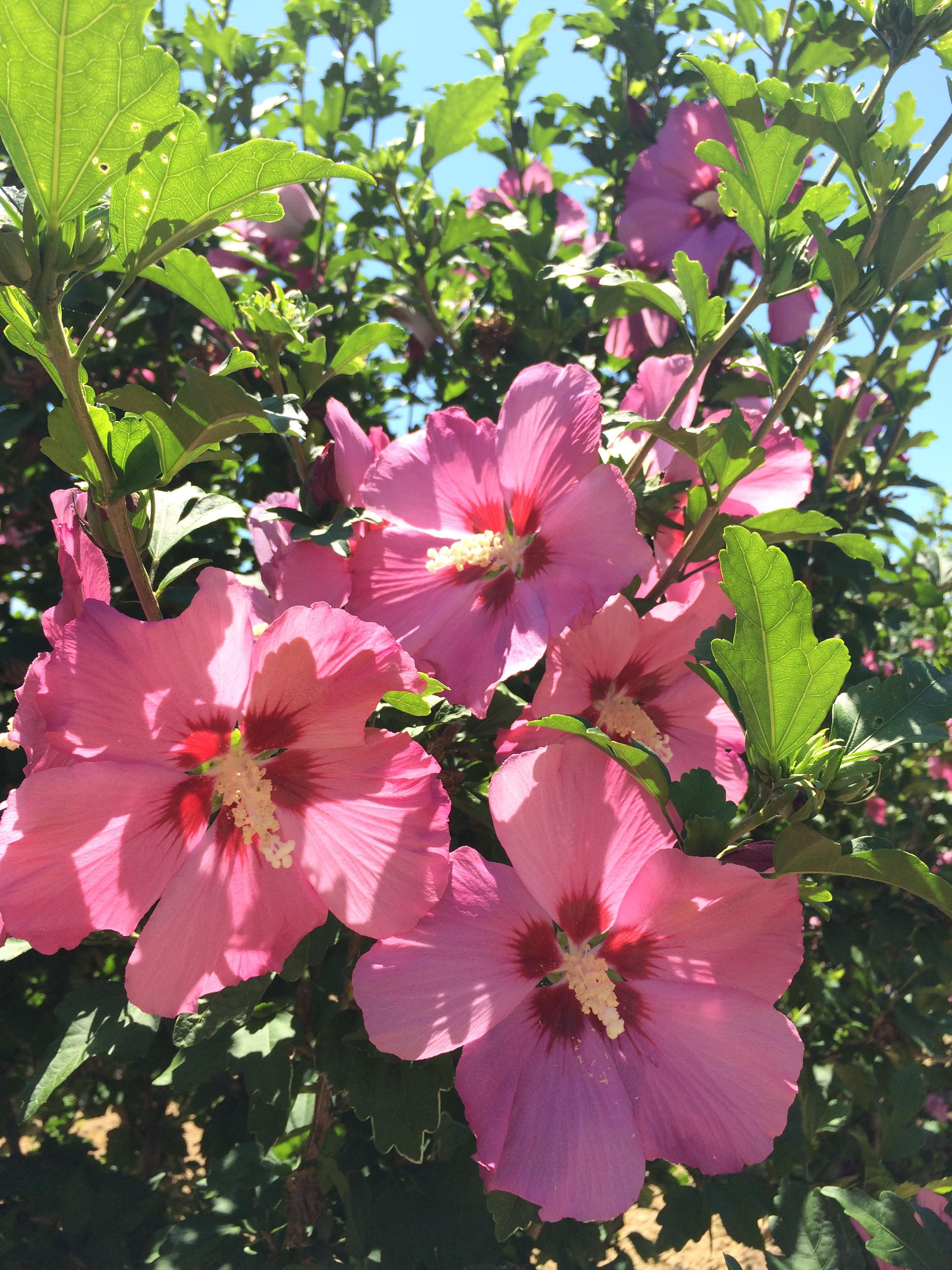 Hibiscus syriacus 'Aphrodite'