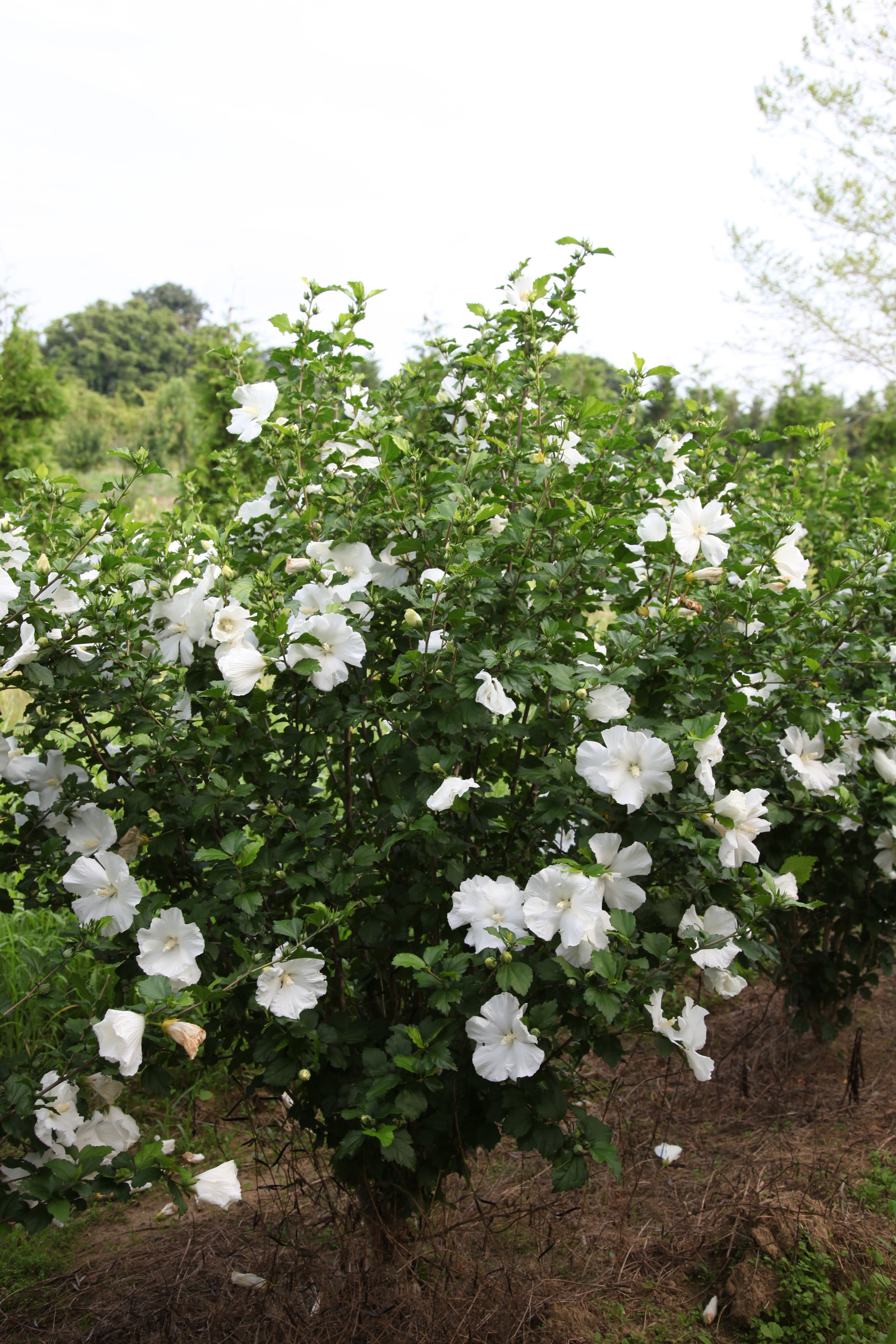 Hibiscus syriacus 'Diana'