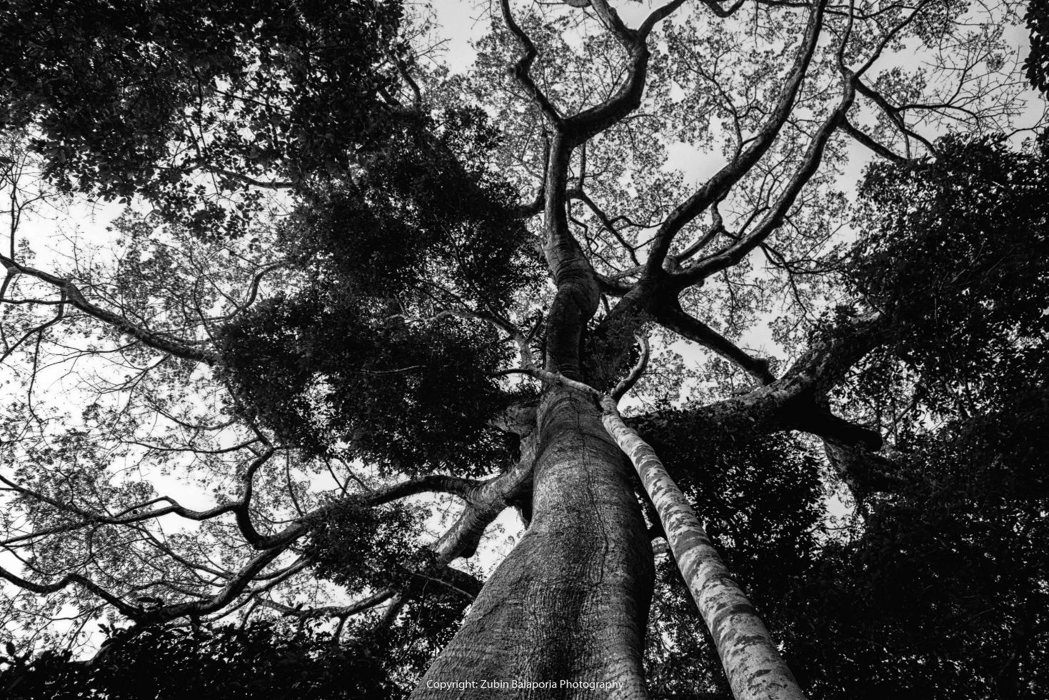 The Amazon Beanstalk
