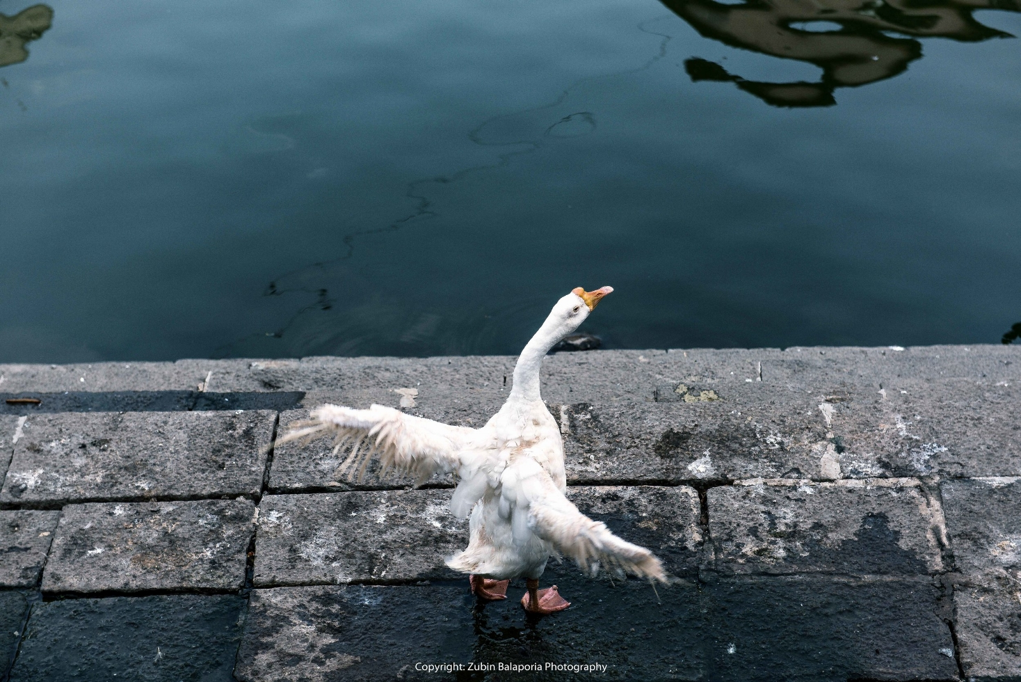 Goose Flap