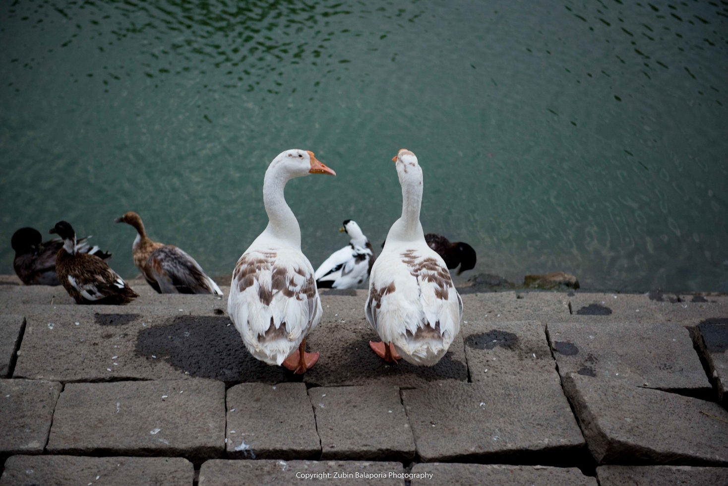 Goose Talk