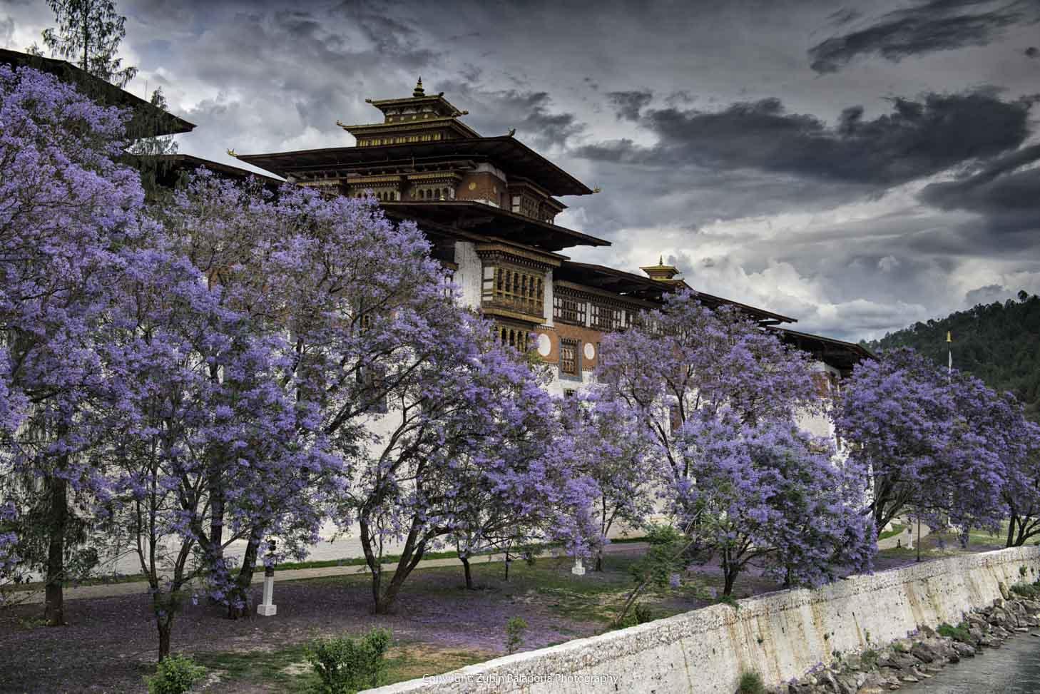 Jacarandas at the Punakha Dzong