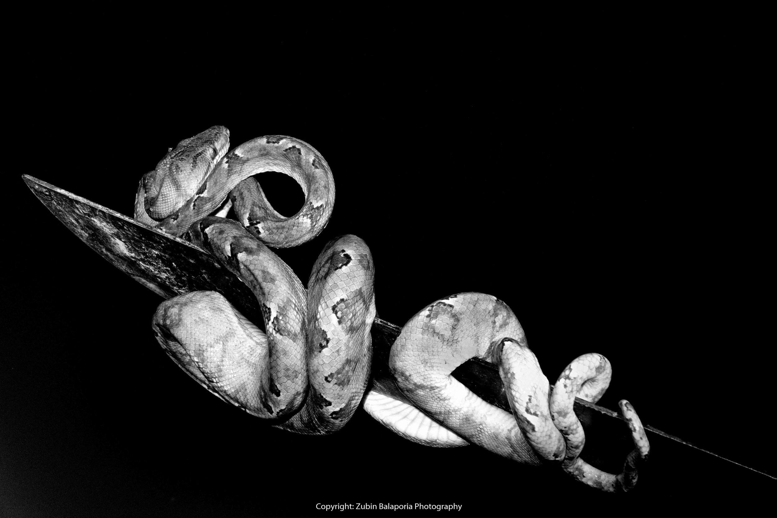 AMAZ Snake BW 02.jpg