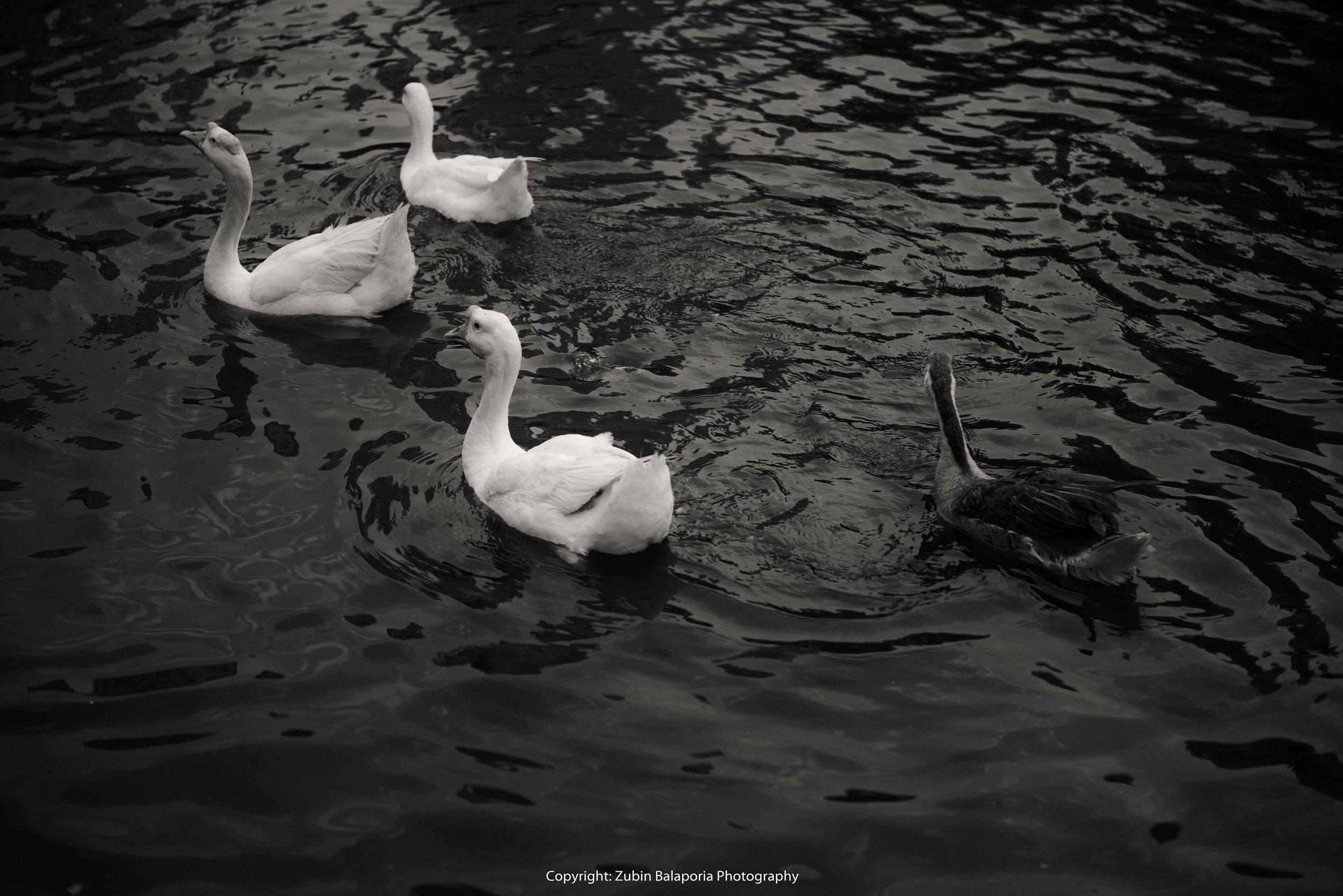 BG Ducks 50 BW.jpg
