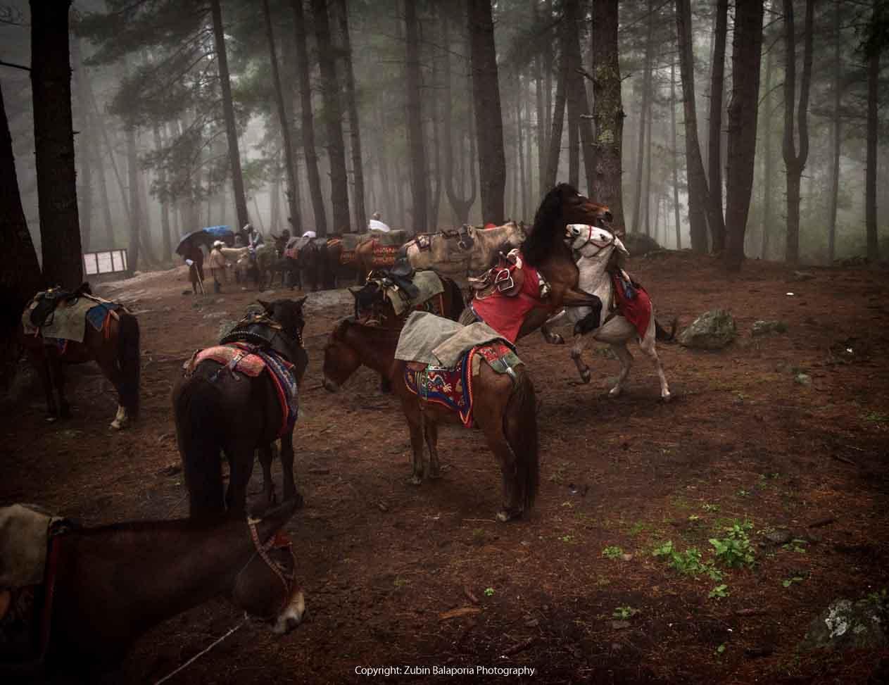 BHU Horses Fighting 03 SL (RUCHIKA).jpg