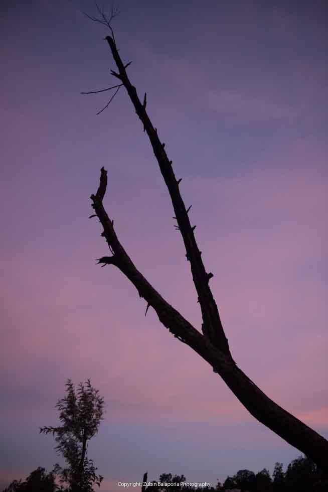 COON Purple Trees  02.jpg