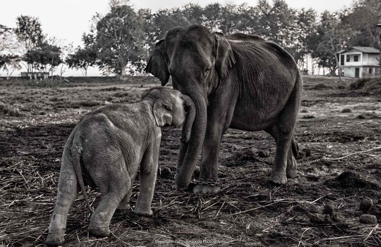 KAP Elephant Mother & Baby 10 BW.jpg