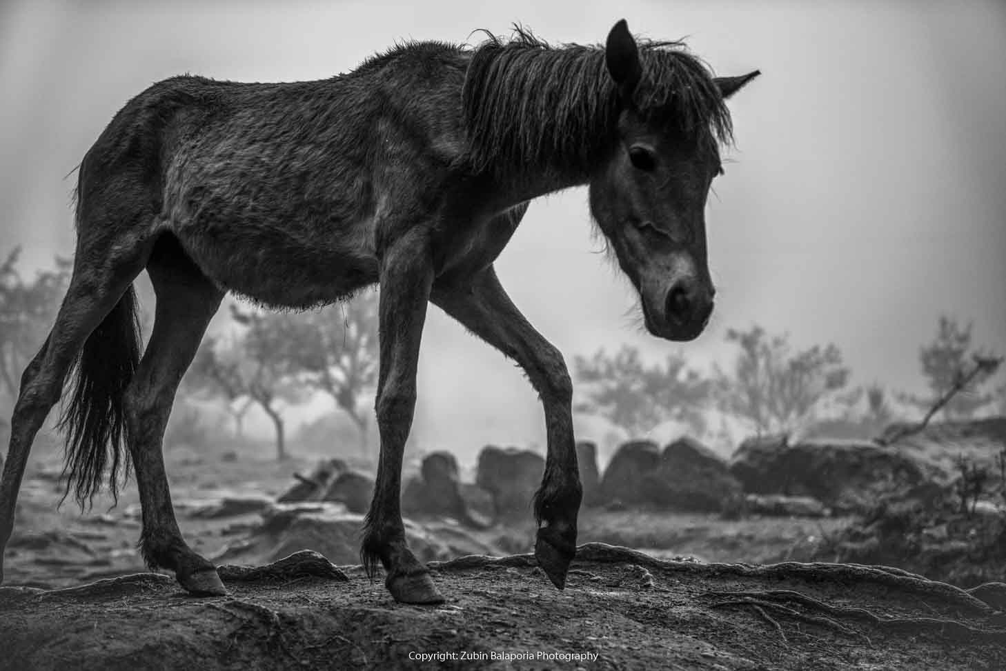 BHU Tan Pony 07 BW 01.jpg