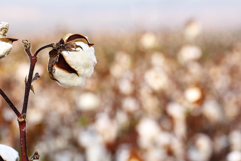 organic_cotton_1500x1000.jpg