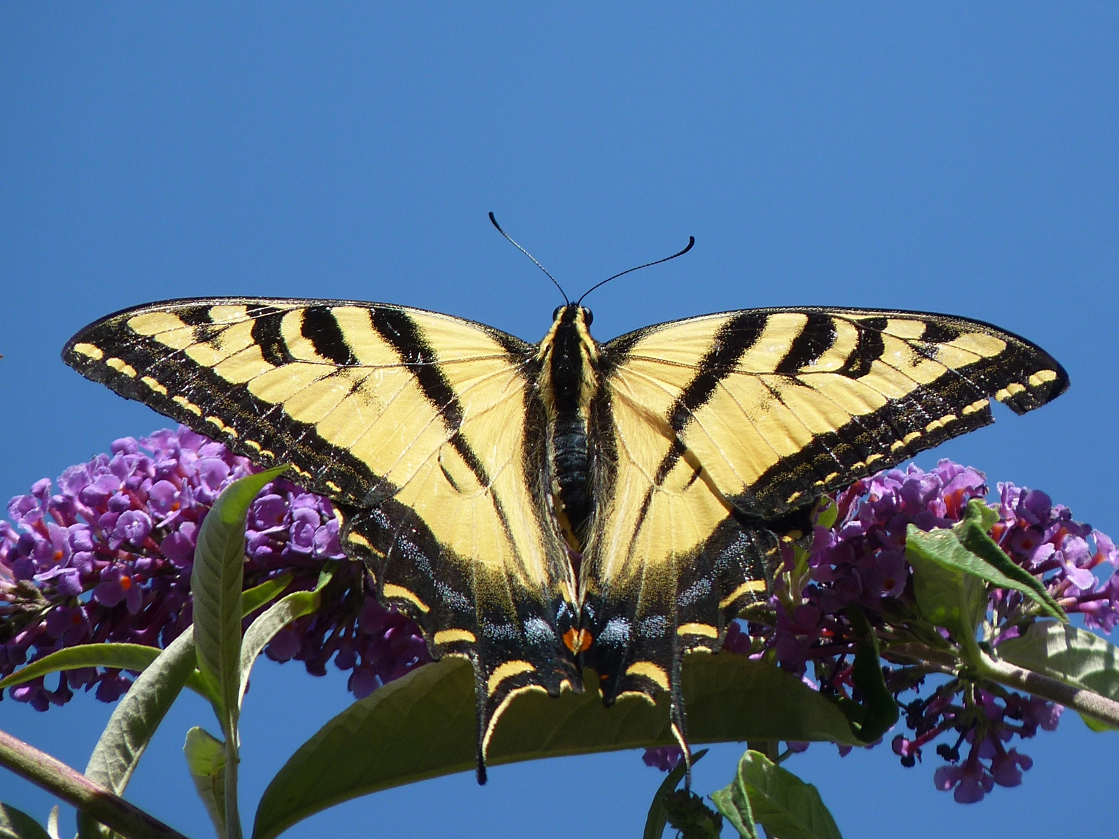 A Western Tiger Swallowtail butterfly in all its glory. Photo courtesy Mathesont @flickr