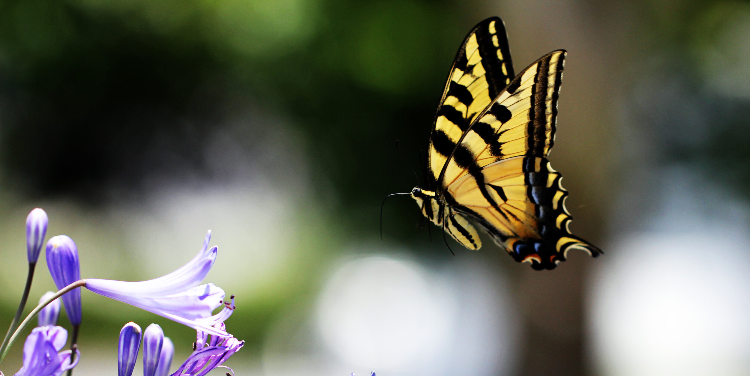 A Swallowtail out for nectar. Photo courtesy siamesepuppy @flickr
