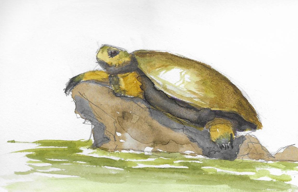 El Jefe, Western Pond Turtle