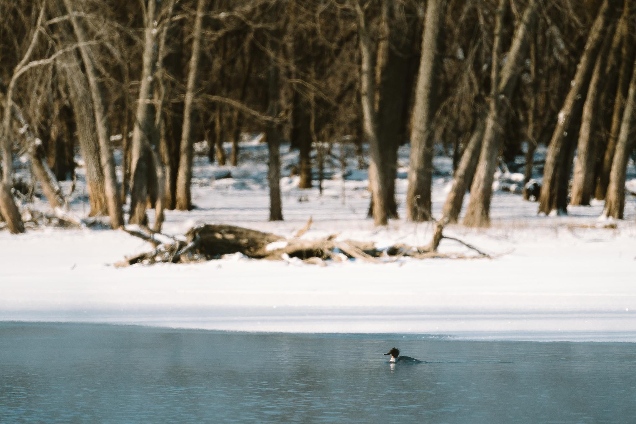 Common Merganser Duck at Colvill Park in Red Wing, Minnesota
