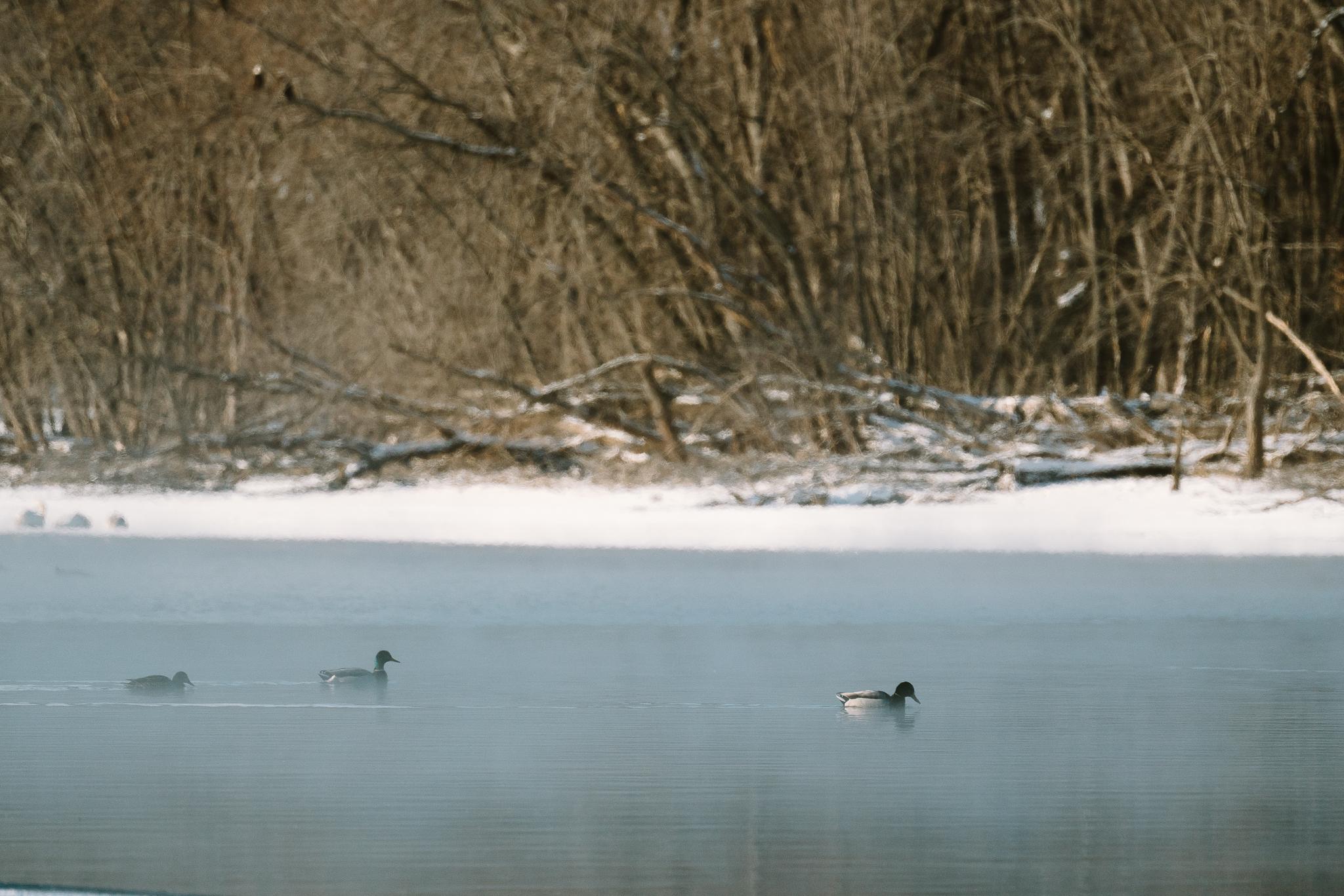 Mallard Ducks at Colvill Park in Red Wing, Minnesota