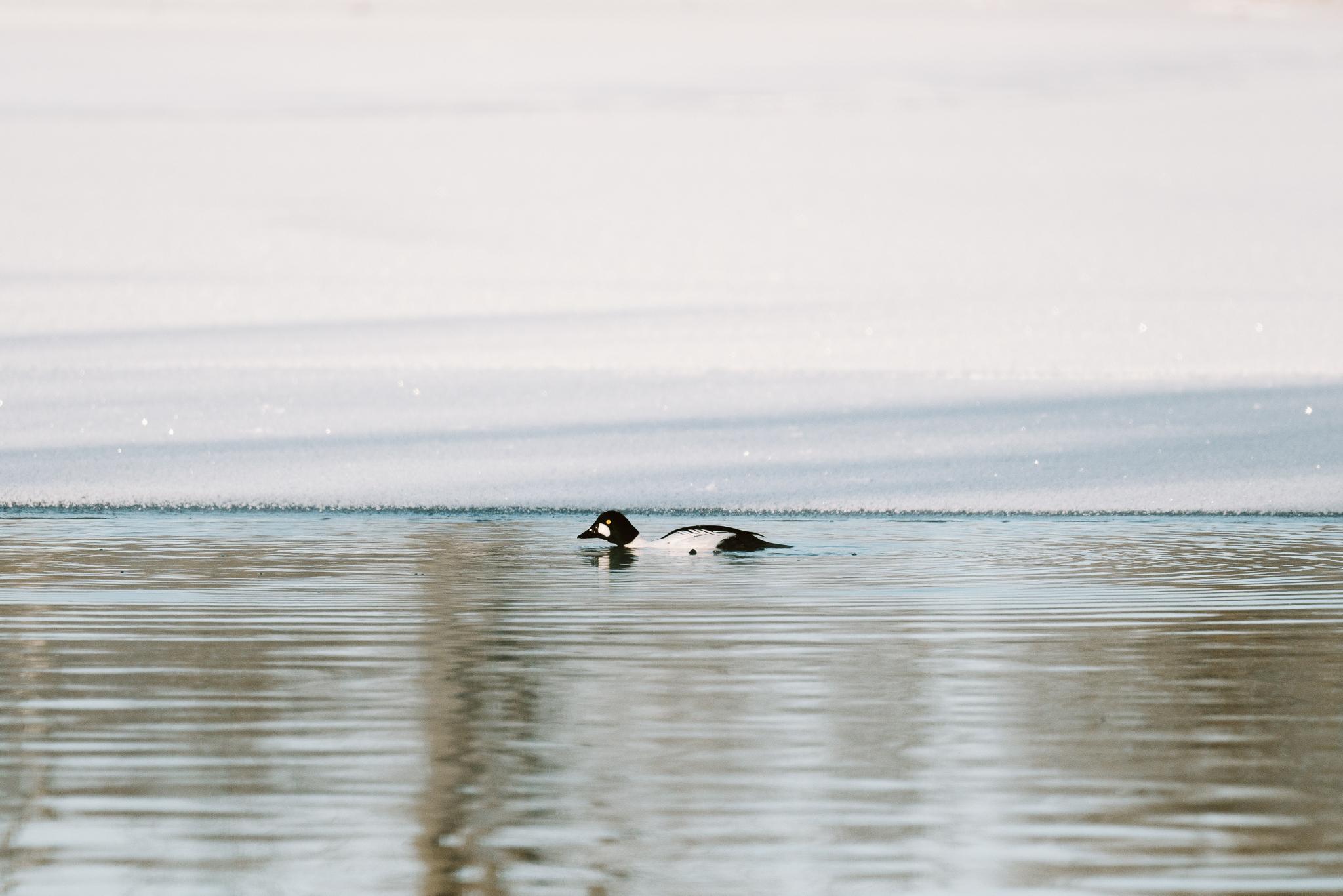 GoldenEye Duck at Colvill Park in Red Wing, Minnesota