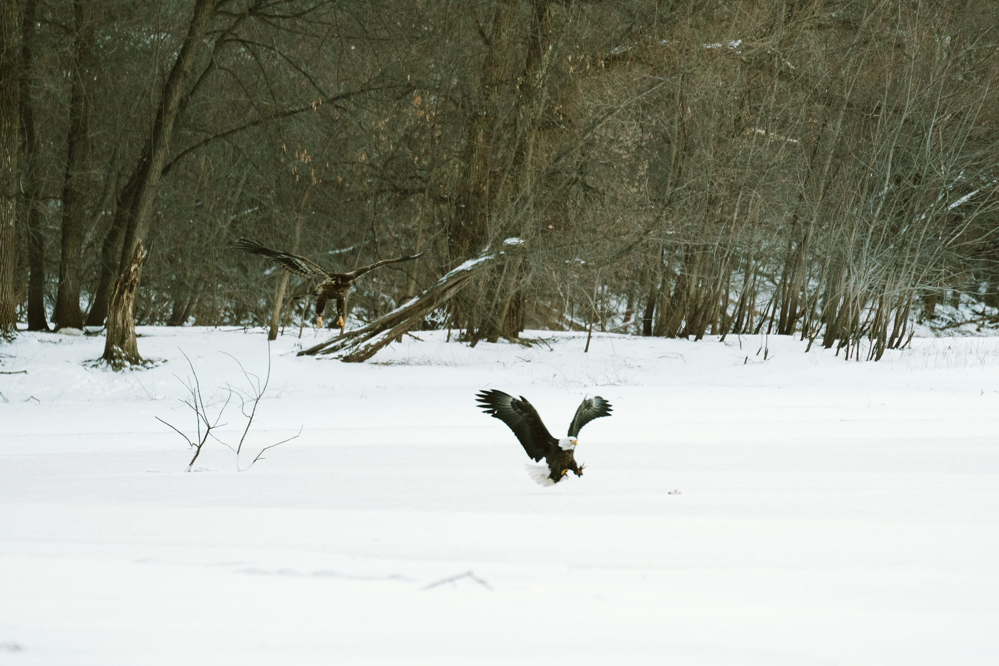 Bald Ealges over the Mississippi River at Colvill Park in Red Wing, Minnesota