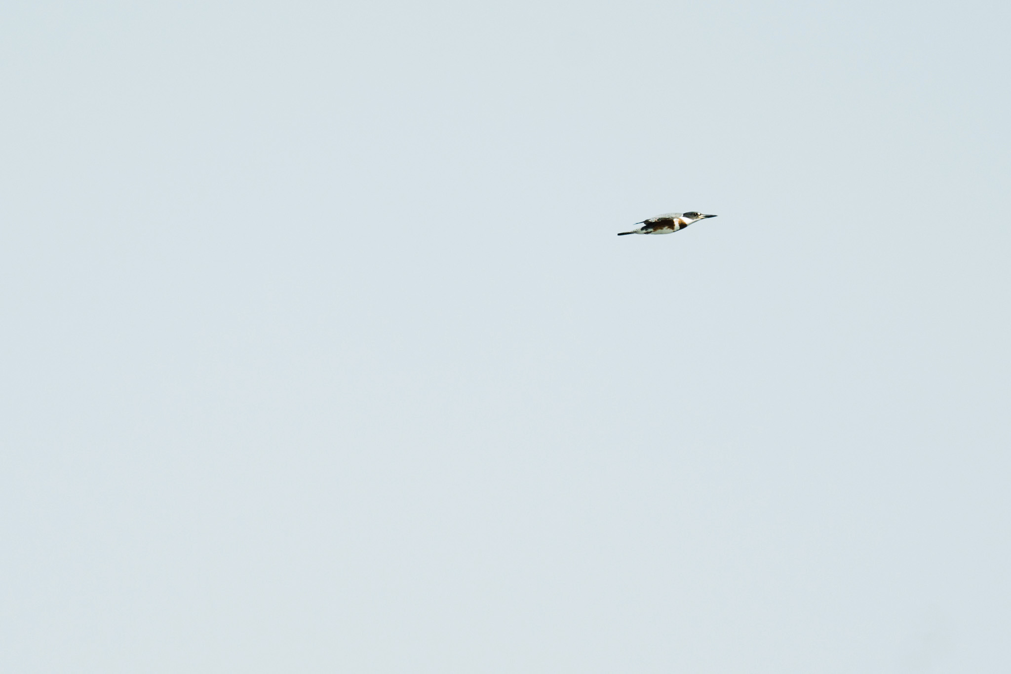 Belted Kingfisher flying above the Puget Sound in Seattle, Washington