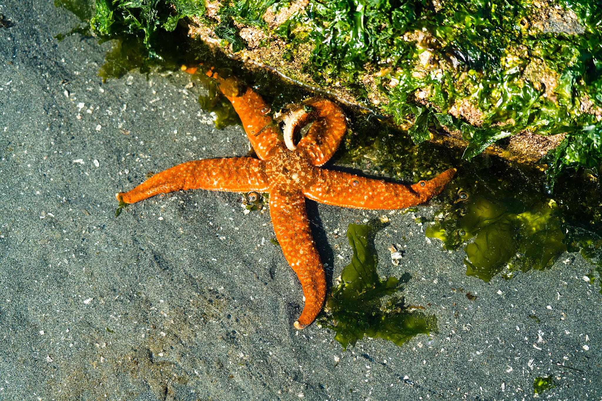 Sea Star on the beach in Seattle, Washington