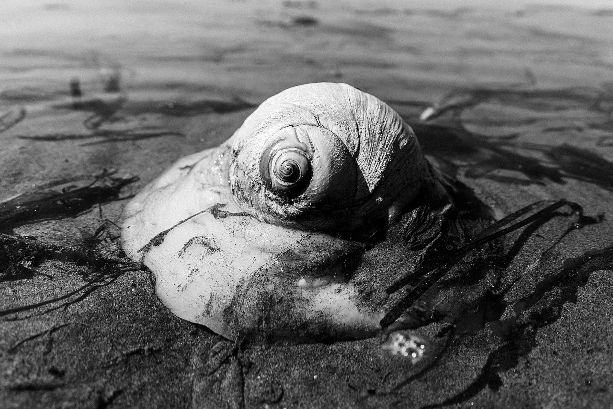 Moon Snail digging in the sand on a beach in Seattle, Washington