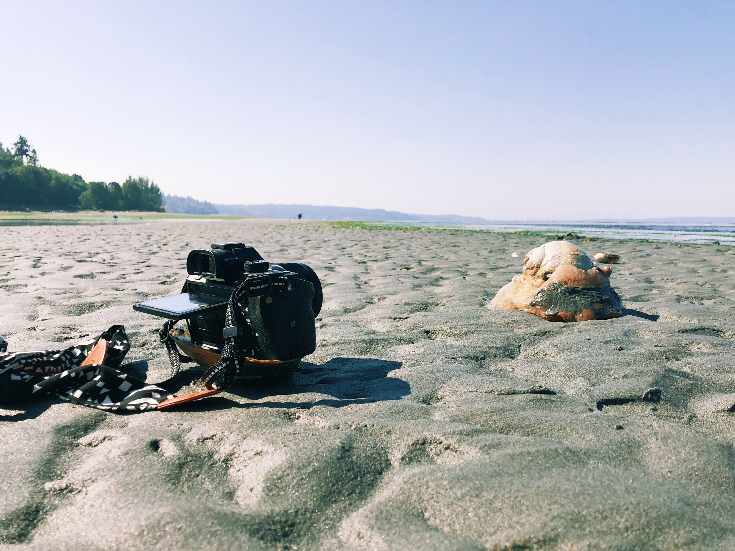 - I wanted to get a quick video of the Moon Snail moving across the sand, but the tide was coming in and I didn't have a tripod, so I pulled out a McGyver move of balancing my camera on a seashell to protect it from the water.