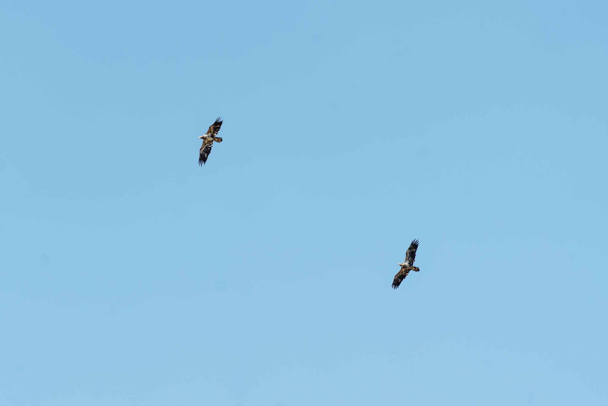 Bald Eagles Fly Away After a Death Spiral