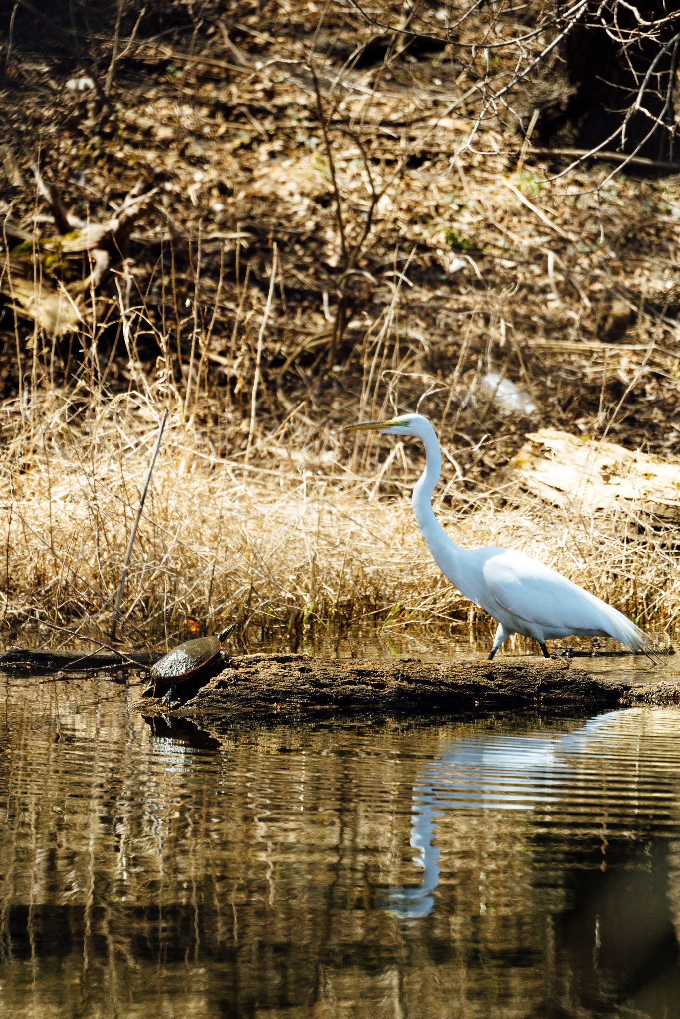 Painted Turtle on a log and an egret in a pond by Seattle Wildlife Conservation Photographer, Sara Montour Lewis