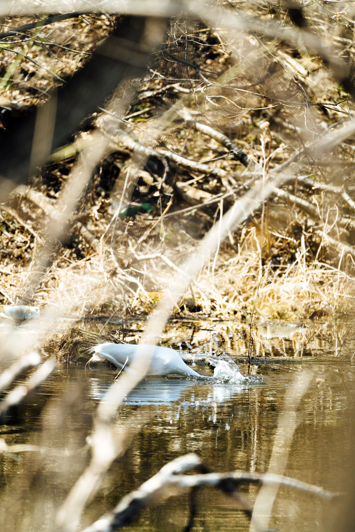 Egret fishing in a pond by Seattle Wildlife Conservation Photographer, Sara Montour Lewis