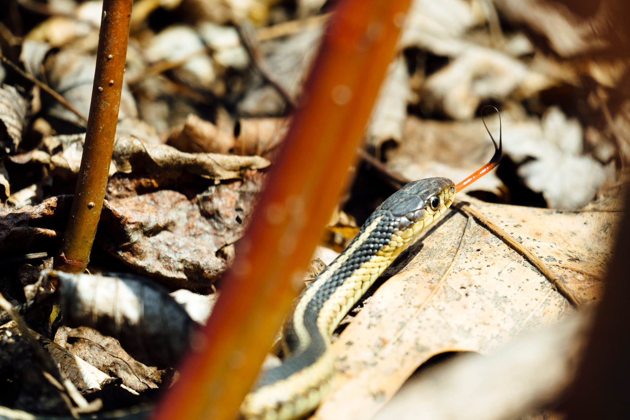 A closeup photography of a garter snake sticking its tongue out