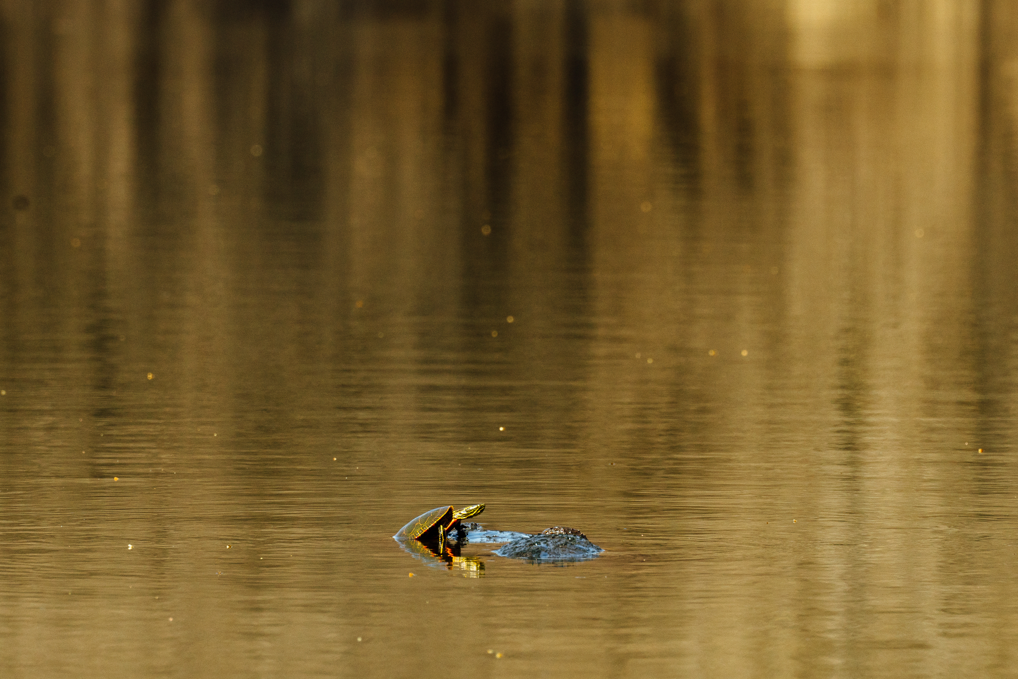 A painted turtle climbs on a snapping turtle in a pond in Minnesota