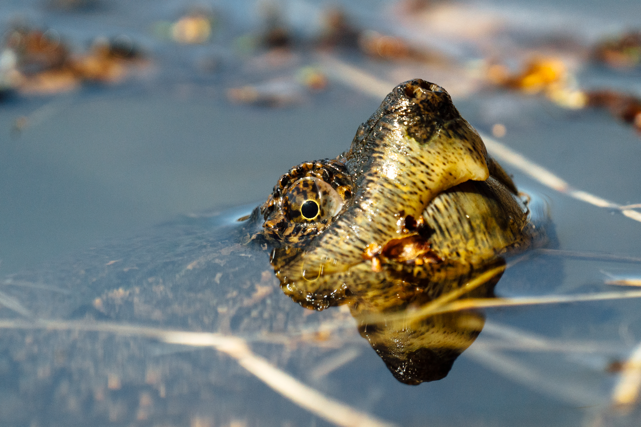 A snapping turtle in a pond by conservation photographer, Sara Montour Lewis