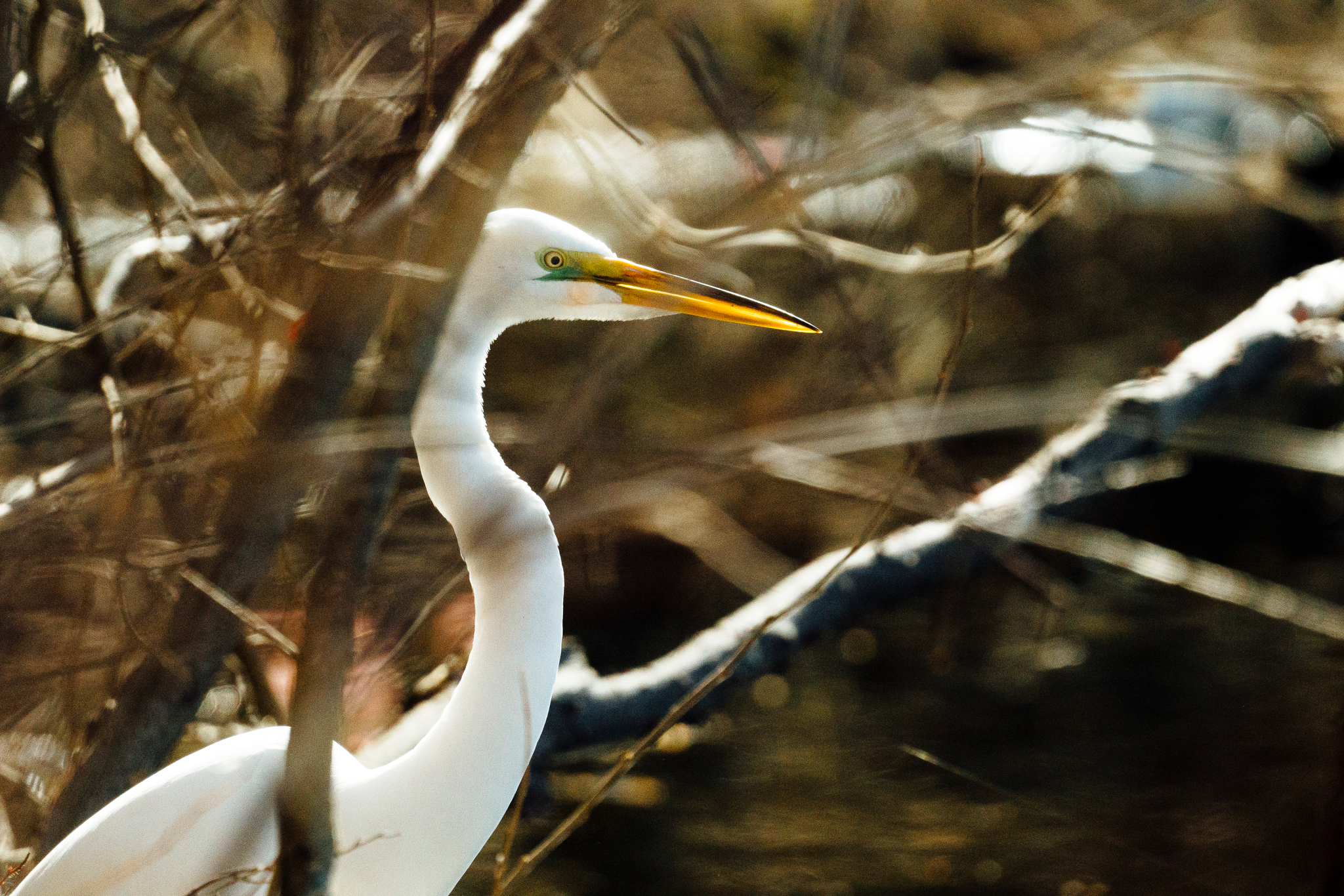 An egret on the shore of a pond by wildlife photographer Sara Montour Lewis