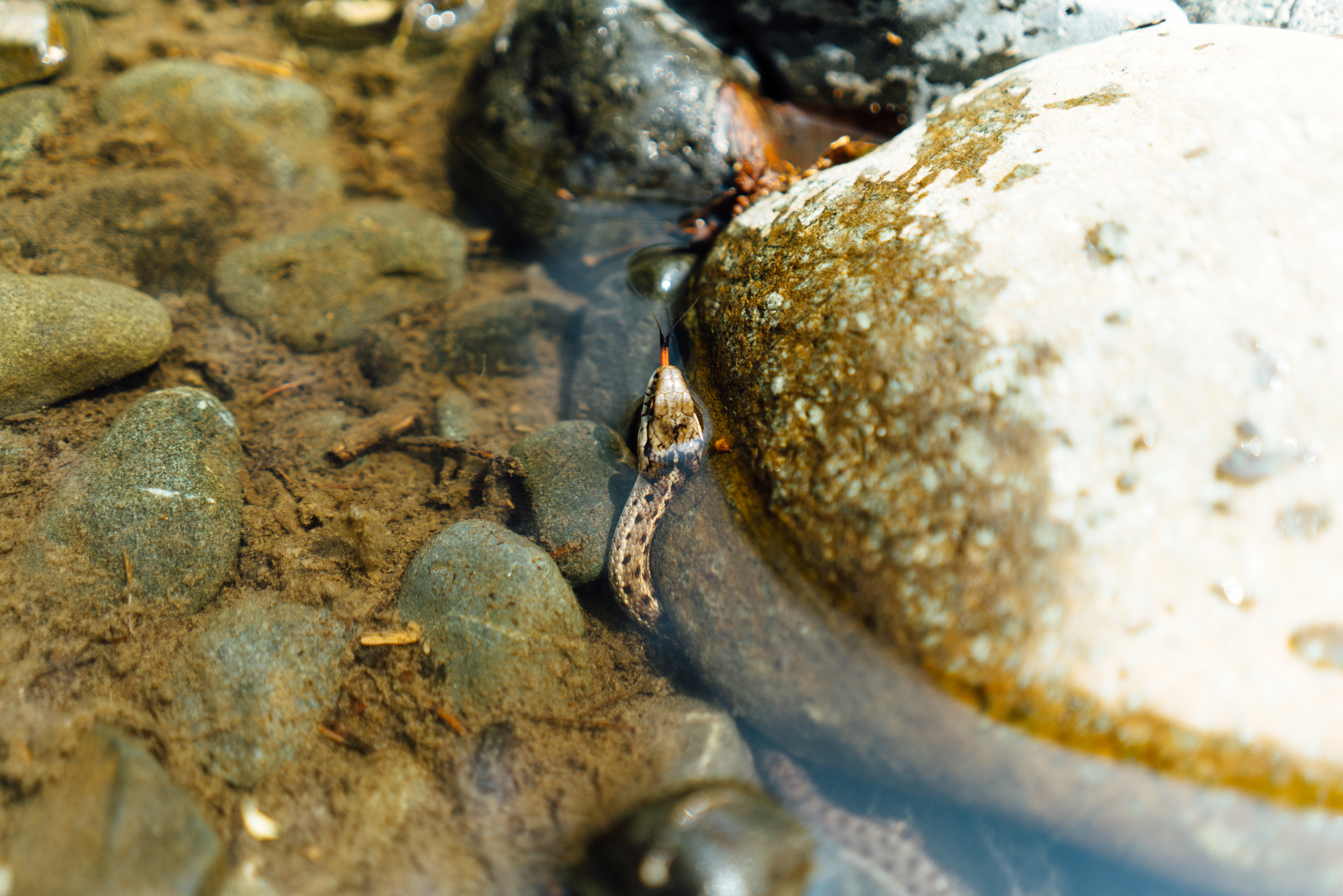 Photograph of a Garter Snake in the Teanaway River near Cle Elum, Washington
