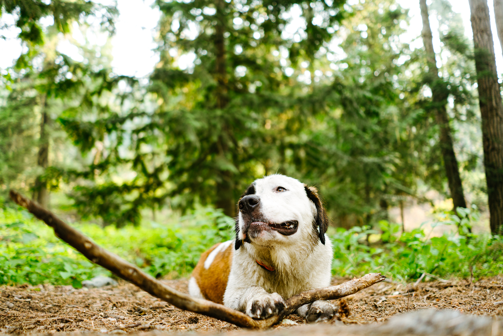 A Saint Bernard chews on a stick in the forest stock photography