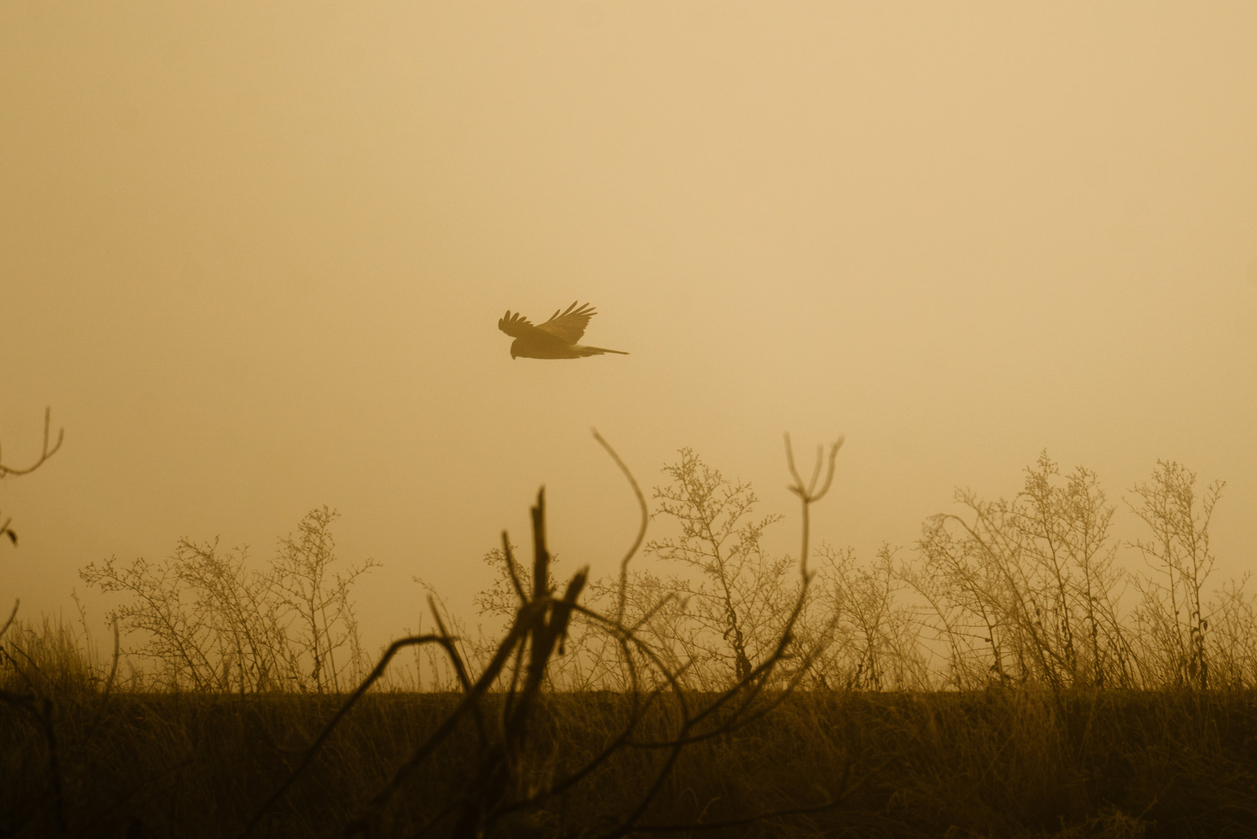 Northern Harrier on the Samish Flats in Washington State
