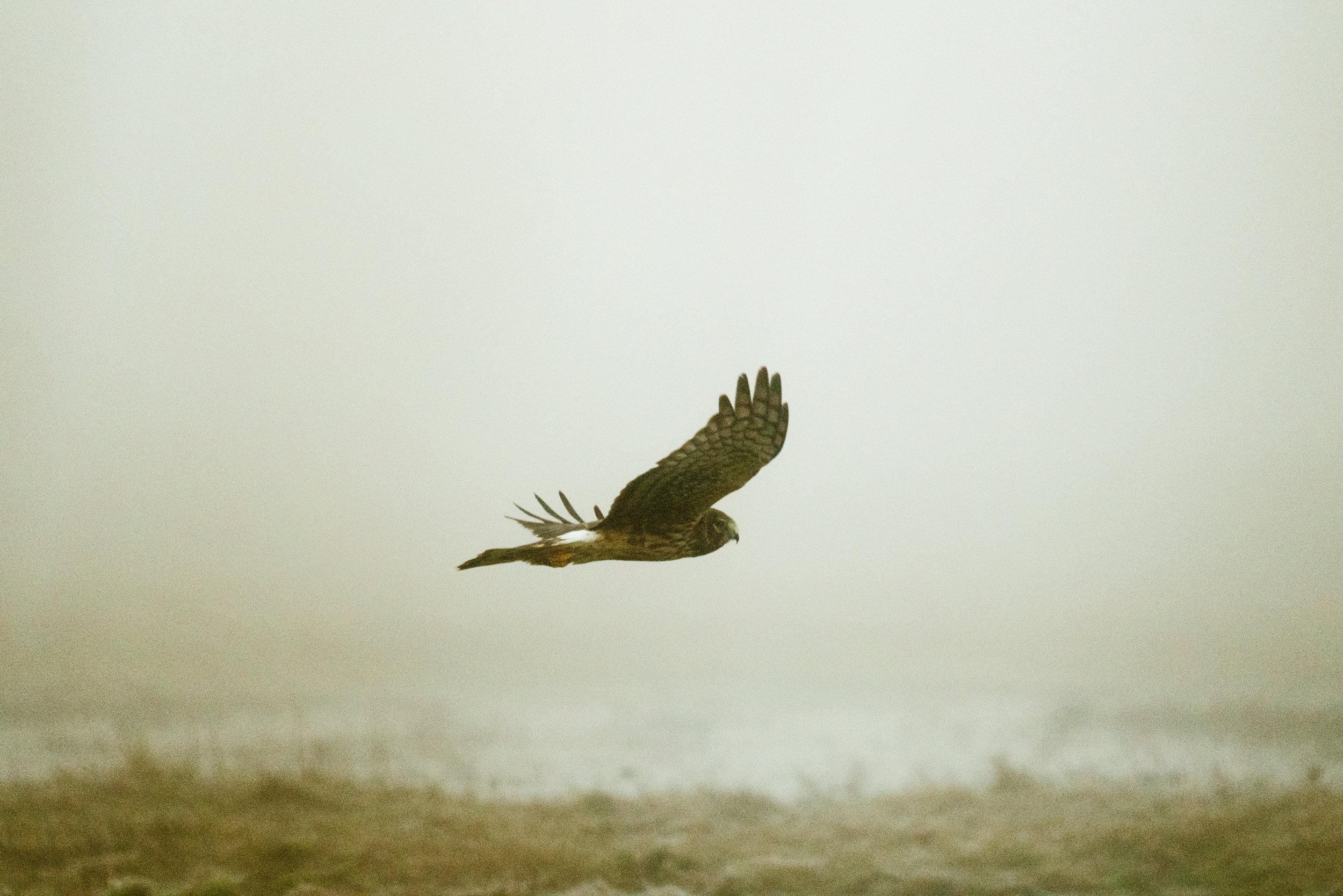 Photograph of a Northern Harrier by Seattle, Washington Wildlife Photographer, Sara Montour Lewis
