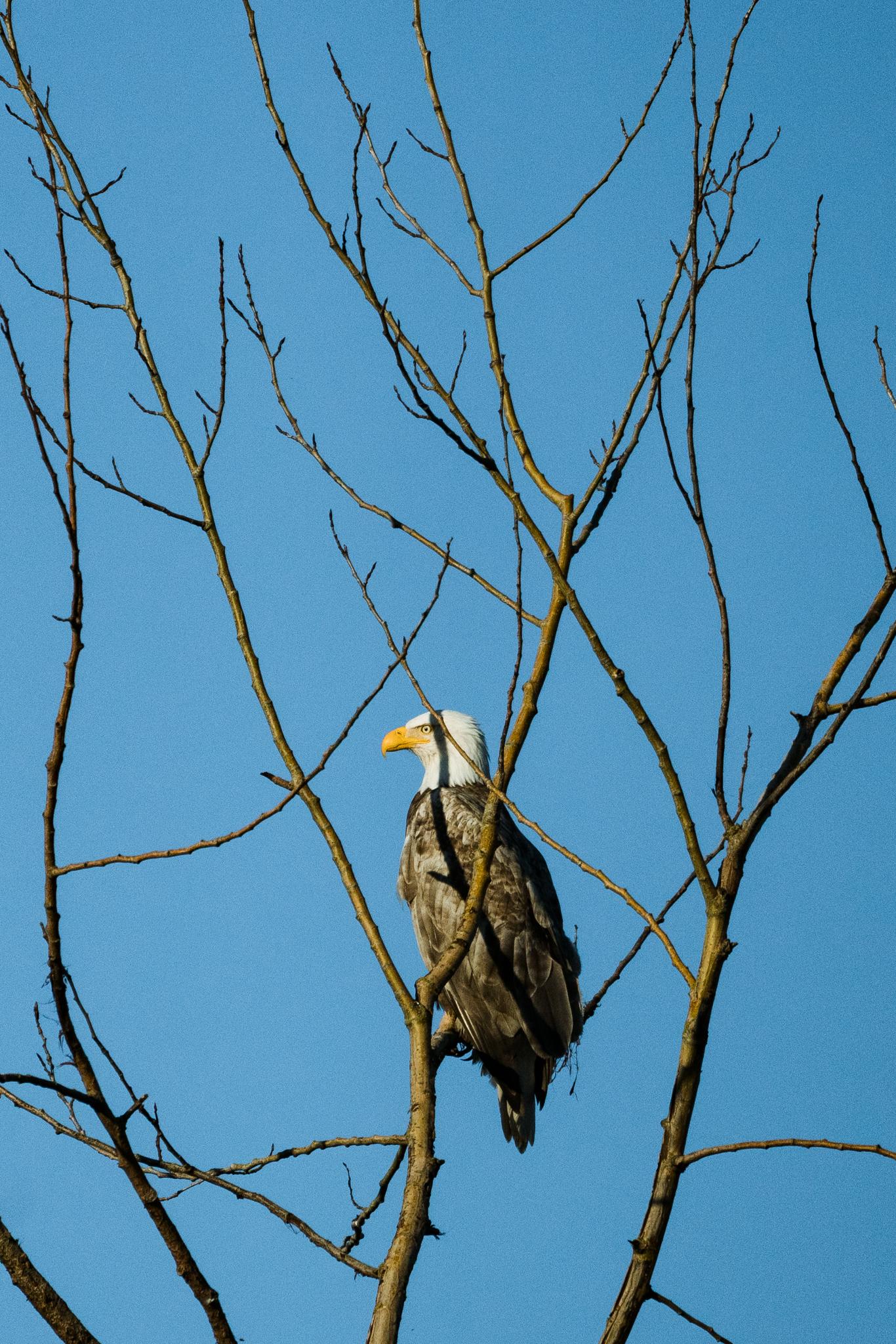 Photograph of a partially leucistic bald eagle in Washington state