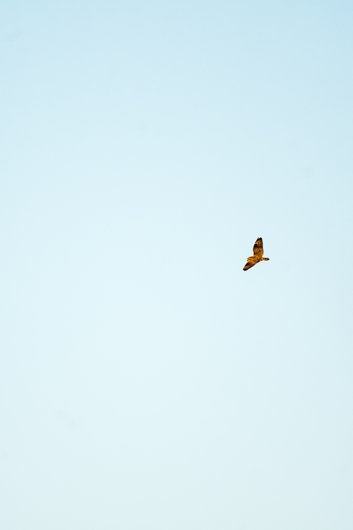 A short-eared owl flying over the Samish Flats in Washington State