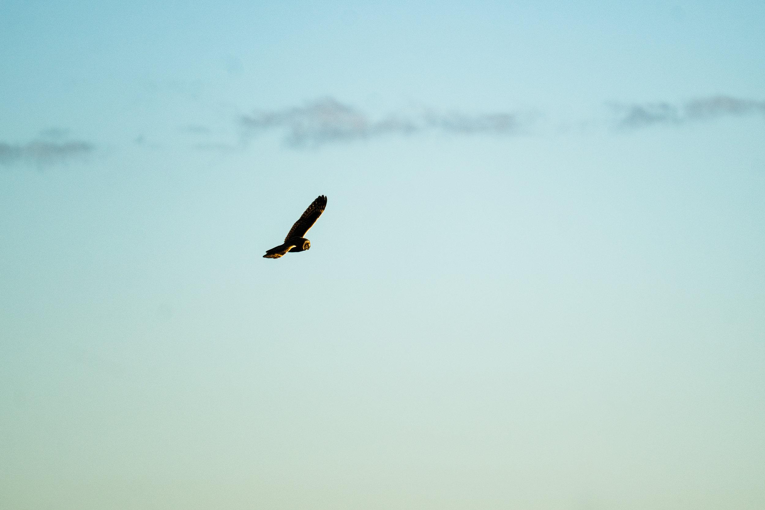 Seattle, Washington Wildlife Photograph of a Short-Eared Owl