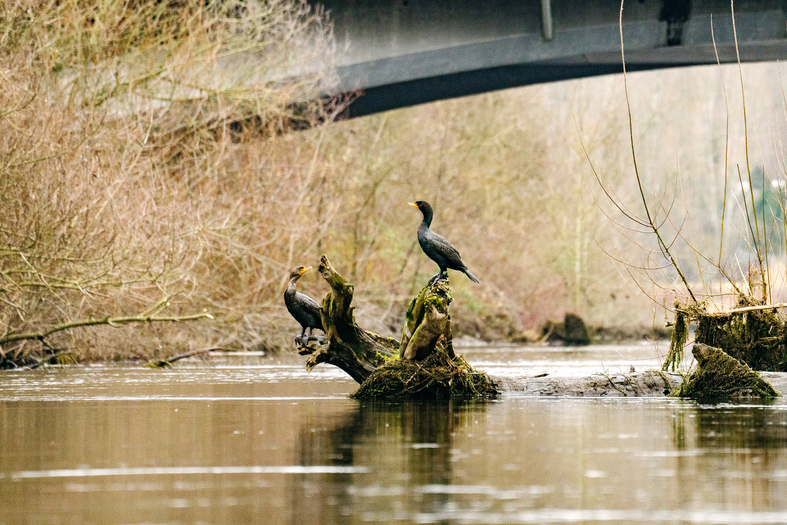 Double-Crested Cormorants on the Sammamish River in Redmond, Washington