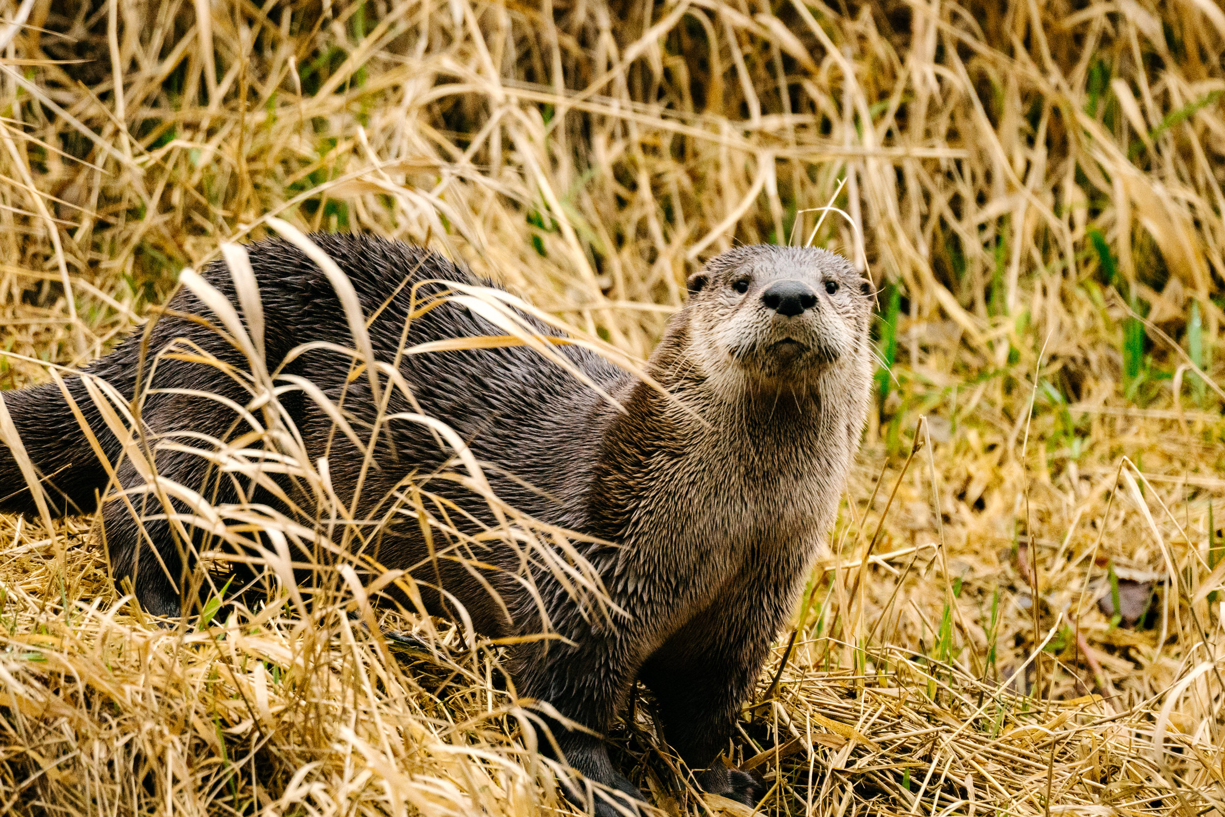 North American River Otter in the Sammamish River by Wildlife Photographer, Sara Montour Lewis