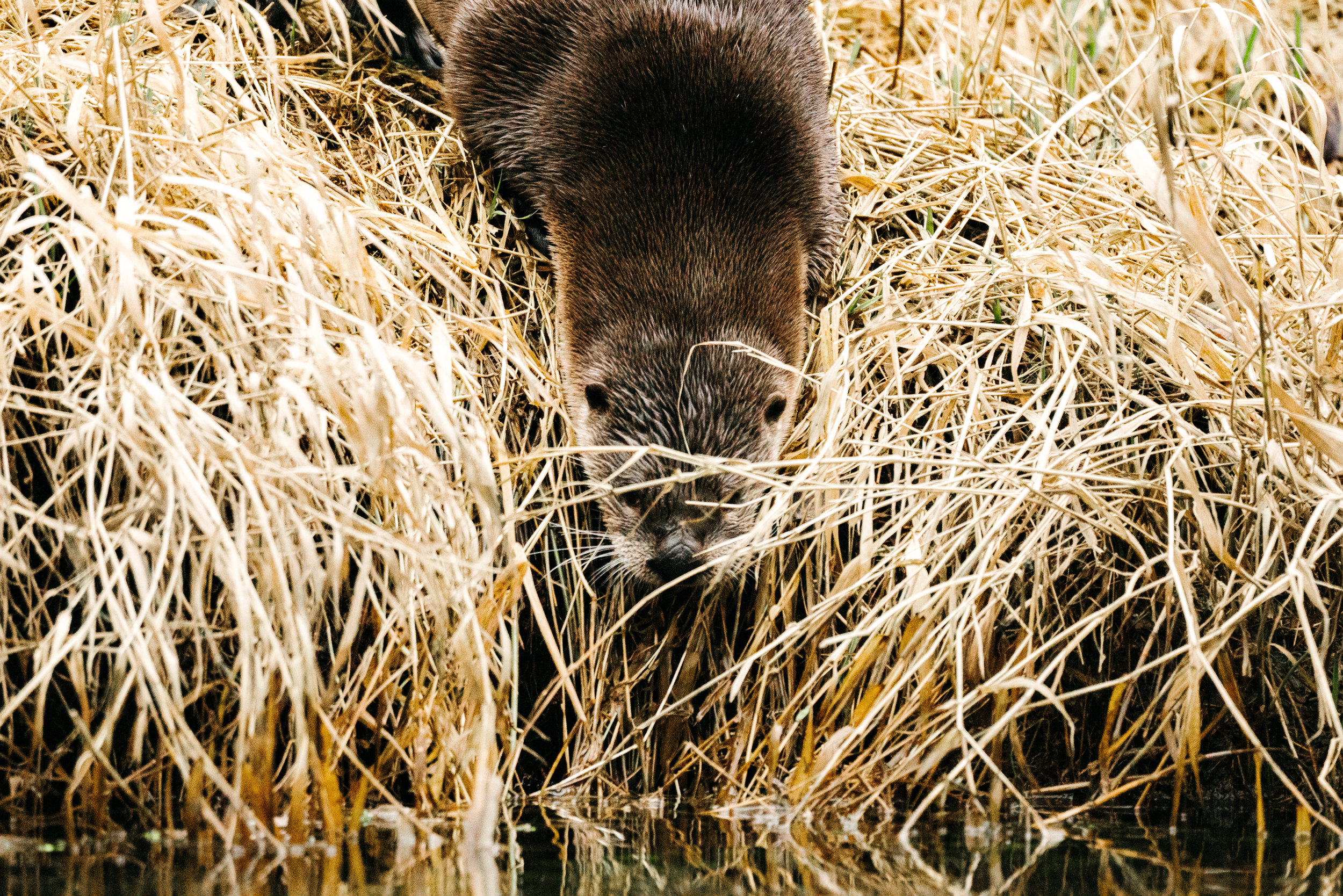 Otters in the Sammamish River by Seattle Photographer, Sara Montour Lewis