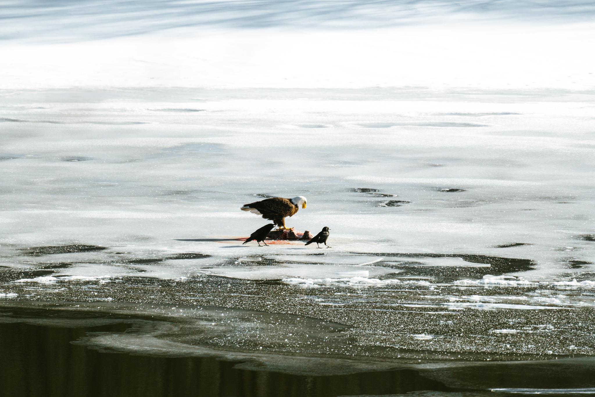 Minnesota River Bald Eagle Photographs
