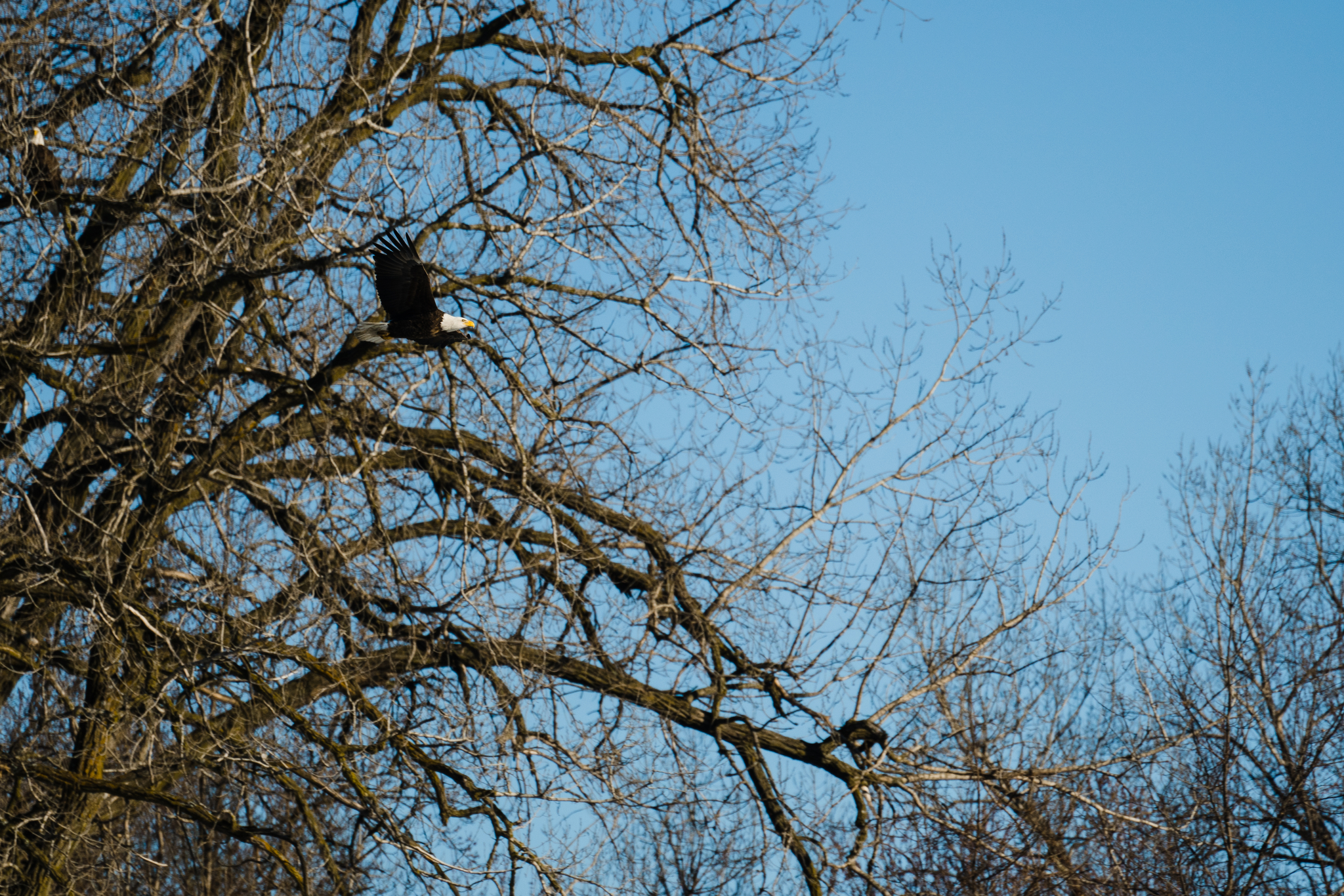 Where to see bald eagles in Minnesota