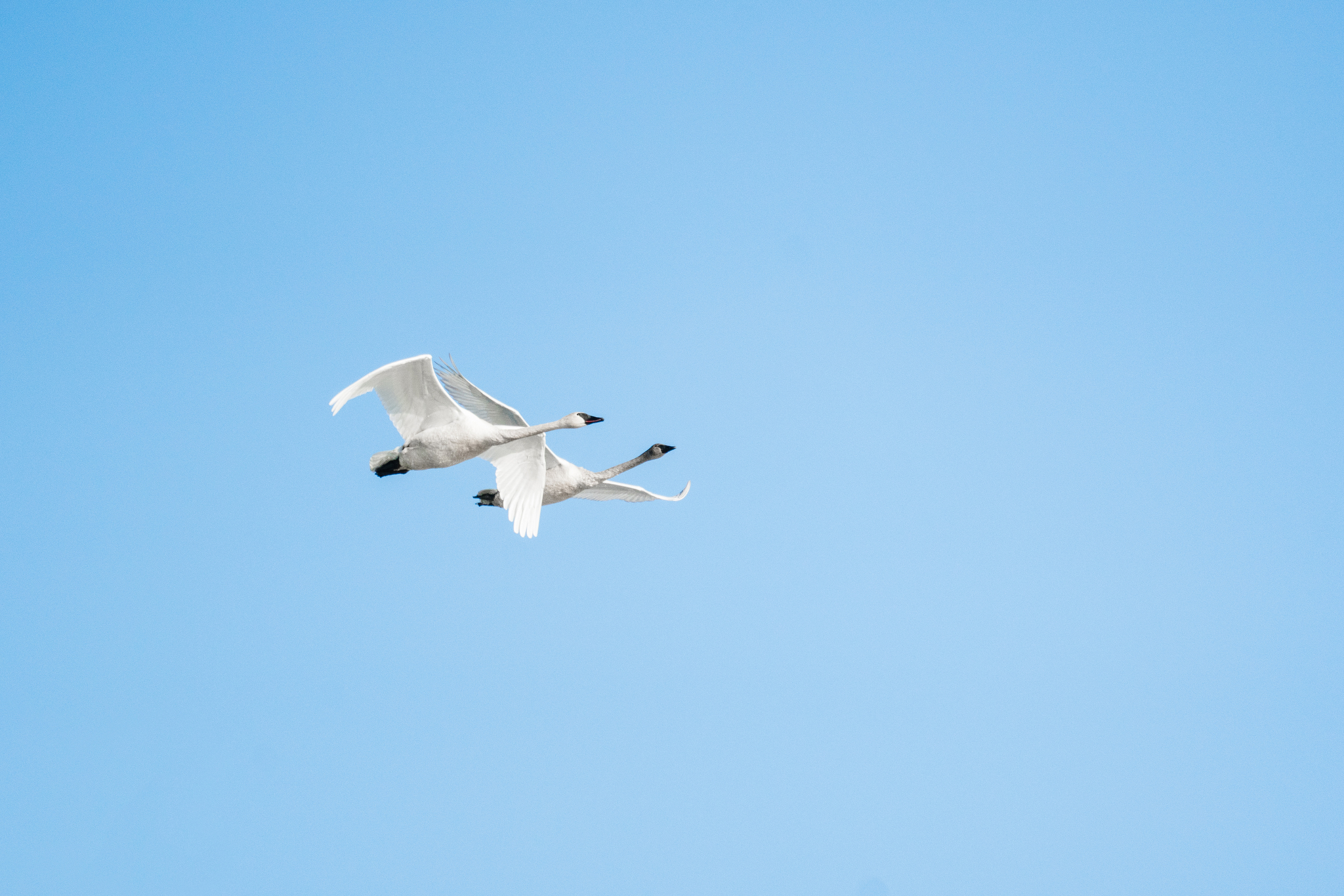 Tundra Swans Flying in Minnesota