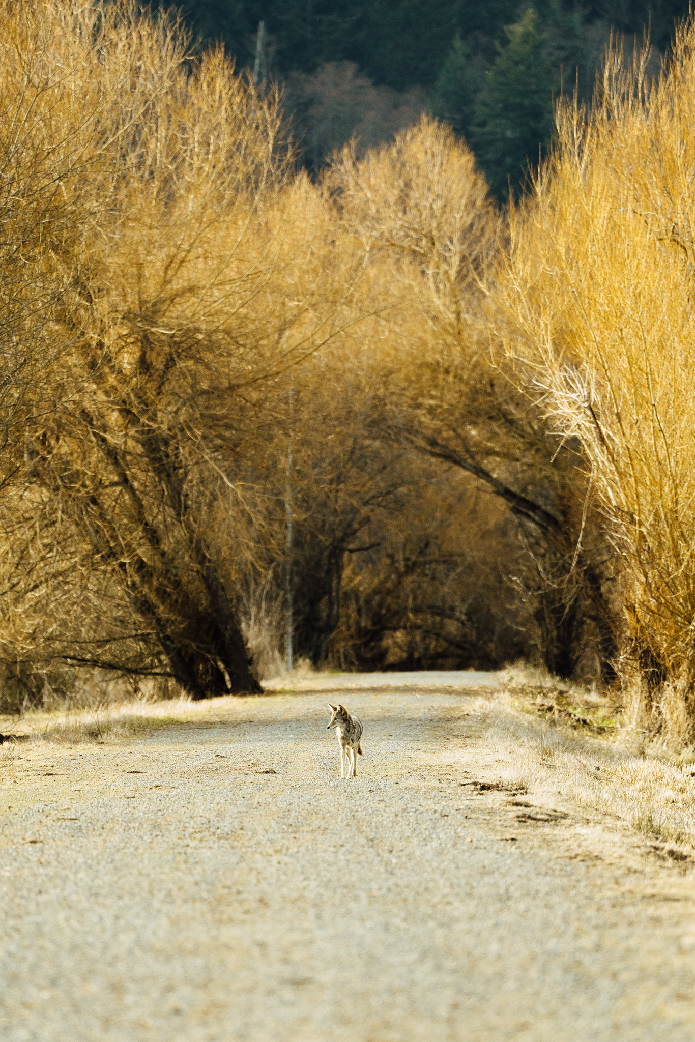 A wild coyote walking down a trail at the Nisqually National Wildlife Refuge