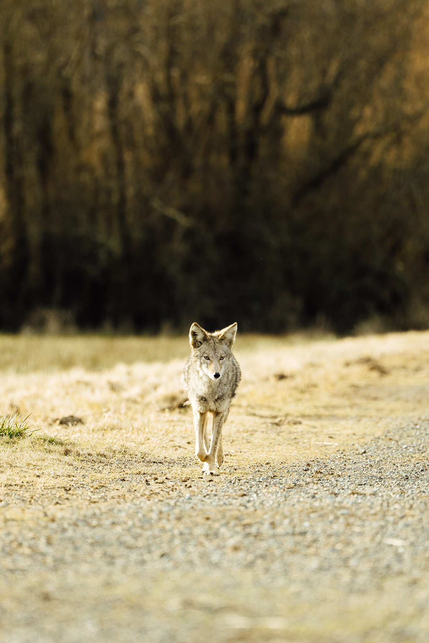 A photograph of a wild coyote in Tacoma, Washington