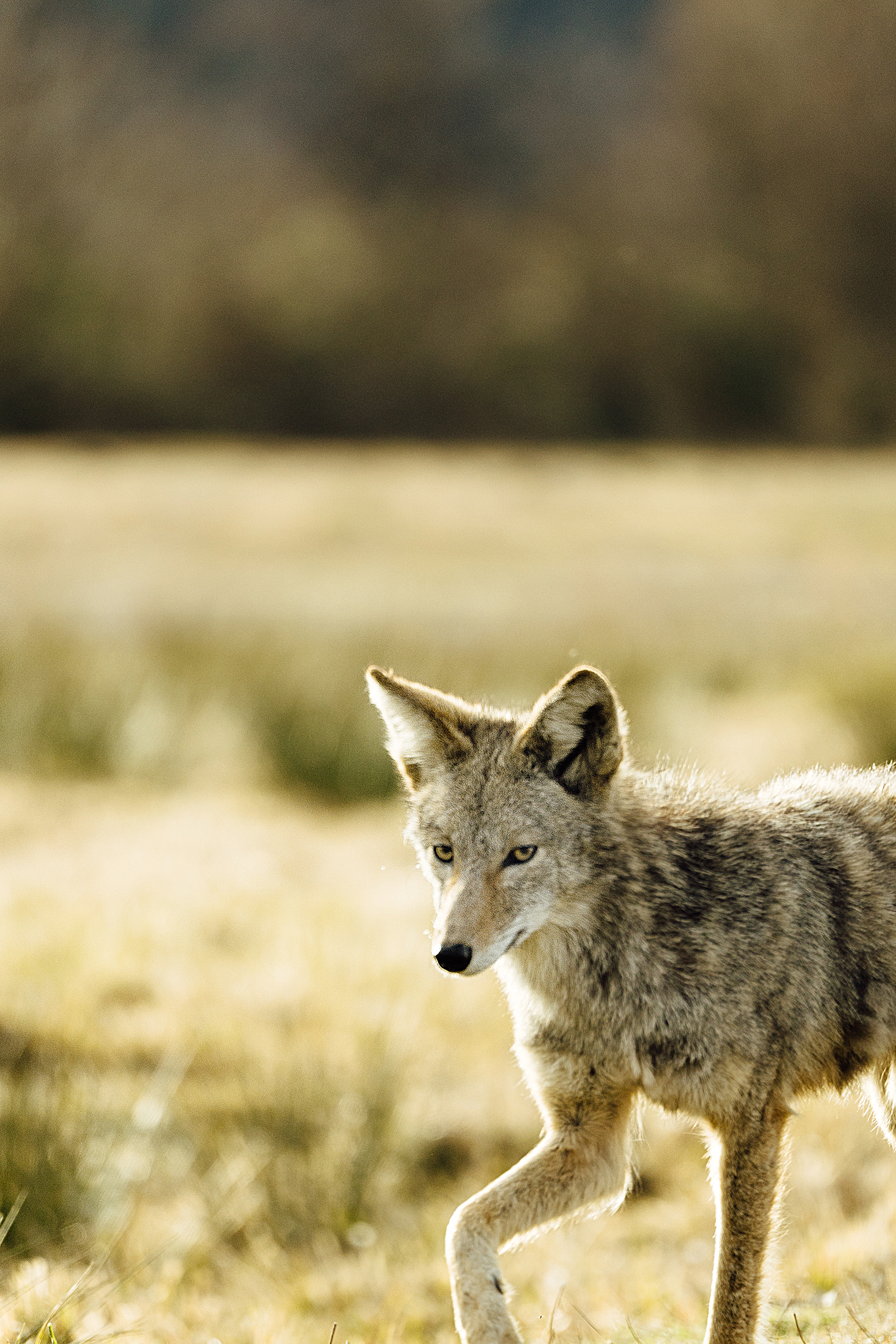 Portrait of a wild coyote by Seattle conservation photographer Sara Montour Lewis