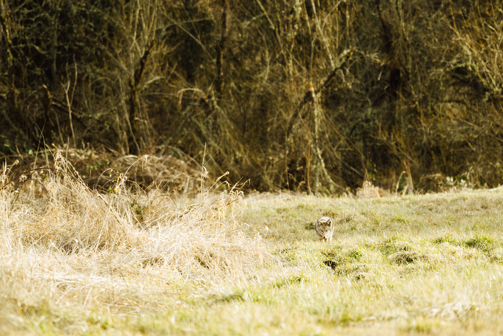 A wild coyote hunting in the tall grass at Nisqually National Wildlife Refuge
