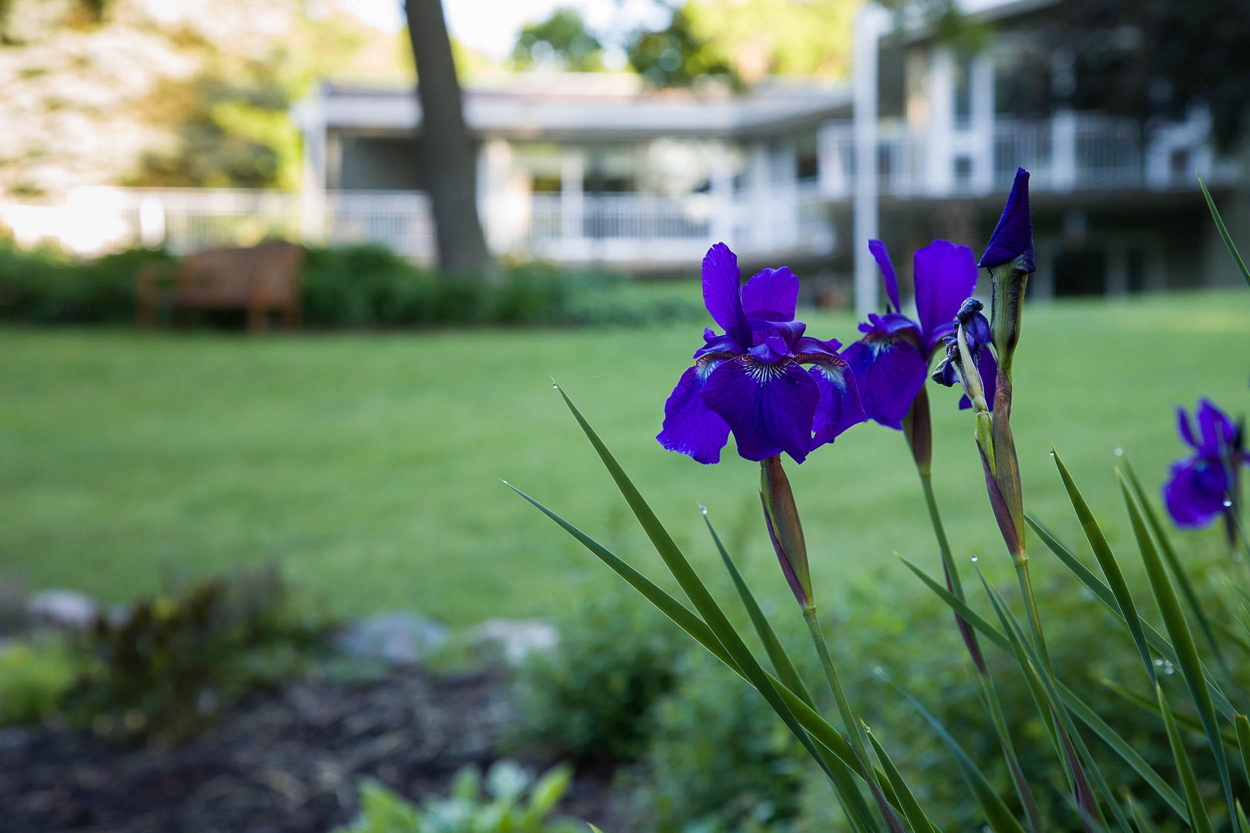 Carolyn Piepho - Iris on house grounds.jpg