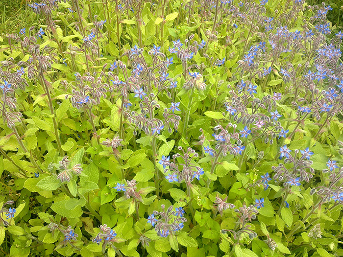 Borage Patch in old Glorious Ninth Garden, Penryn, Cornwall, 2005 (Photograph Kate Southworth)